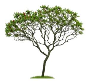 Junger freigestellter Essigbaum vor weißem Hintergrund