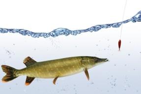 Fische 66