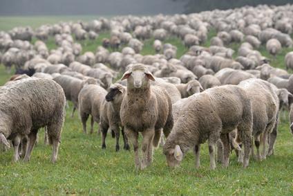 der Wächter, Schaf unter Schafen